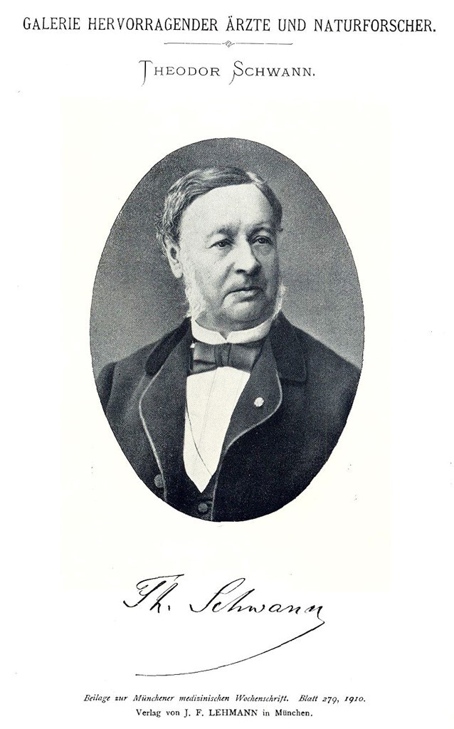 theodor schwann essay - 175 words Topics: theodor schwann, cell theory, cell pages: 1 (175 words) published: november 30, 2014 theodor schwann was born in neuss on december 7, 1810 he studied at the jesuits college in cologne and then at bonn where he met the physiologist johannes peter muller.